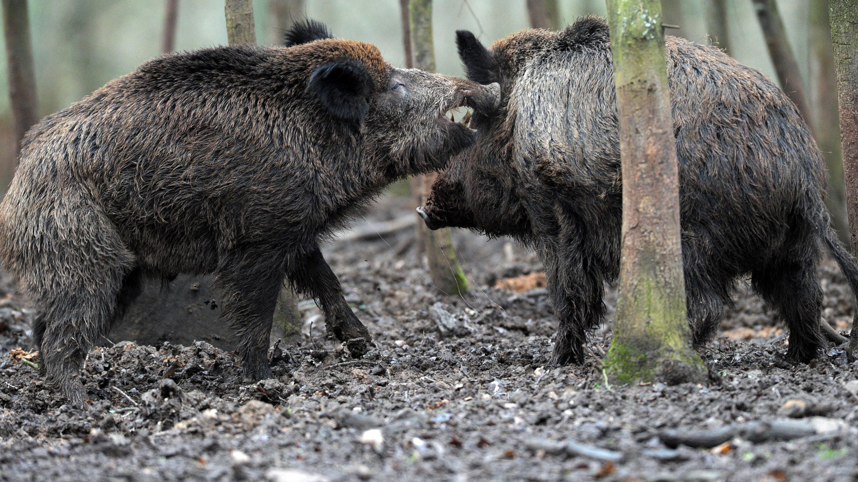 Jogger flüchtet sich vor Wildschweinrotte auf Baum