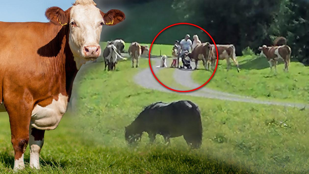 Wanderer laufen mit Baby und Hund durch Kuh-Herde