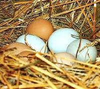 Rekordverdächtiges Hühnerei entdeckt