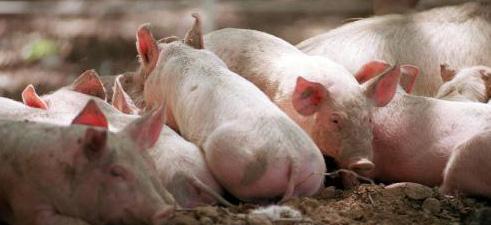 """""""Zu viele Schweine gefährden Wasser und Gesundheit!"""""""