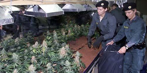 Haschplantage in Gmunden ausgehoben