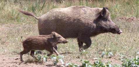 Wildschweine füttern bei Strafe verboten (Bild: Peter Tomschi)