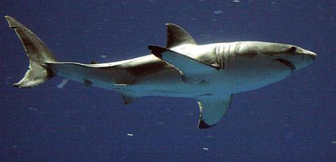 Weißer Hai frisst bei Test Hai-Abwehr-Gerät auf