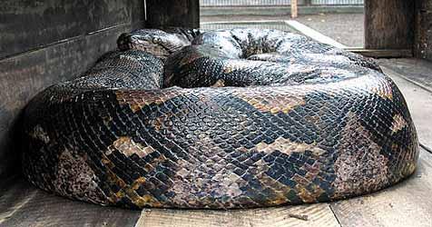 Kenianer beißt Riesenschlange in den Schwanz