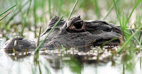 US-Drogendealer schützt Haus mit Krokodilen
