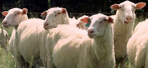 Britische Schafe kommen ins Schwitzen