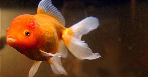 """Goldfische waren """"Augenzeugen"""" - Dieb tötet sie"""