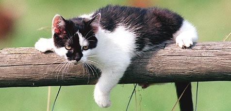 Katze im Haus senkt laut Studie Herzinfarkt-Risiko (Bild: Peter Tomschi)