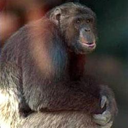 """Schimpanse """"Hiasl"""" bleibt eine """"Sache"""" (Bild: APA)"""