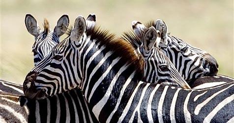 Schwules Zebra-Paar darf endlich zusammen sein