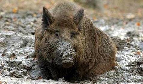 Wildschwein attackiert französische Fleischhauerei