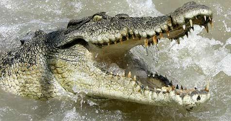 Pechvogel nach Krokodilattacke angeschossen