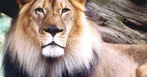 Diebe stehlen Klein-Transporter mit Zirkus-Löwen
