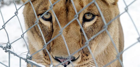Amerikaner will 30 Tage mit 2 Löwen in einem Käfig leben (Bild: Martin Jöchl)