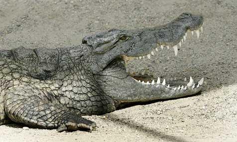 Ausgestopftes Krokodil löst Polizeieinsatz aus