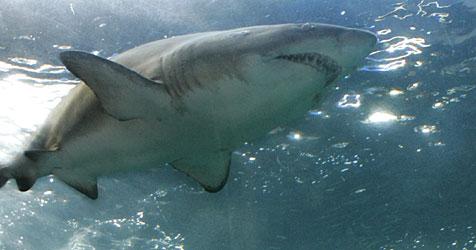 Hai in australischem Schwimmbecken entdeckt