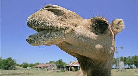 Schönheitswettbewerb für Kamele in Abu Dhabi