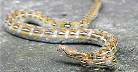 Zwei-Meter-Python löst Verkehrschaos aus