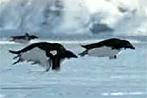 """BBC """"entdeckt"""" fliegende Pinguine"""