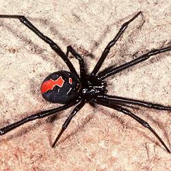 """Australische Klinik """"von Spinnen geschlossen"""" (Bild: AFP)"""