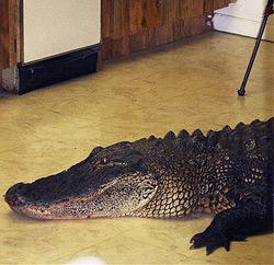 Frau findet Alligator am Küchenboden