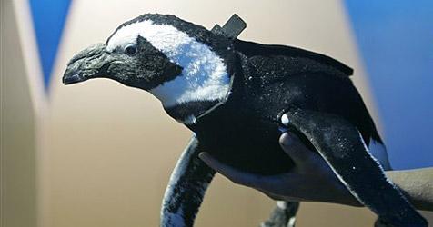 Forscher schneidern Taucheranzug für Pinguin