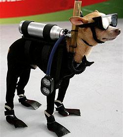 Chihuahua Mondex siegt bei Hunde-Modeschau