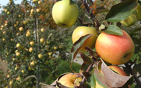 Viele Bauern lassen Früchte verrotten - Ernte zu teuer