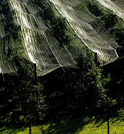 """Bauern greifen f�r die Frucht zur """"Sonnenmilch"""" (Bild: APA/BARBARA GINDL)"""