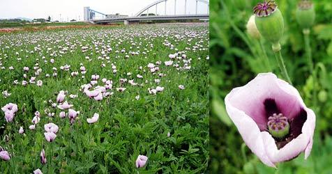 """2,5-ha-Wiese """"aus Versehen"""" mit Mohn bepflanzt (Bild: AFP)"""