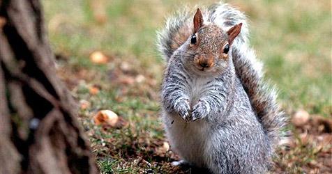 Britische Feinschmecker essen Eichhörnchen