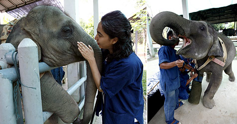 Jumbo-Prothese für Elefantenbaby aus Burma
