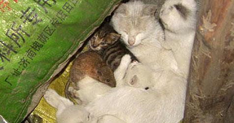 Chinesische Katze adoptiert Ratte und säugt sie