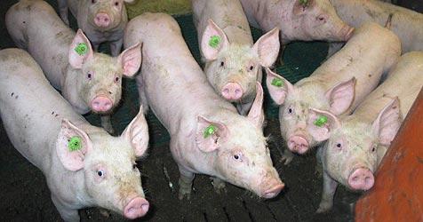 Schweinebauern kämpfen mit Preisverfall (Bild: Sepp Pail)