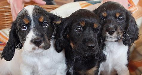 Hundebabies aus dem Osten meist schwer krank (Bild: Klemens Groh)