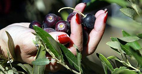 Nur Papst-Baum in Olivenhain trägt Früchte