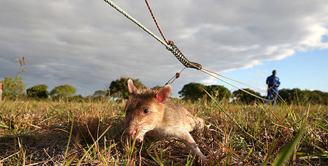 "Ratten machen in Mosambik ""Jagd"" auf Landminen"