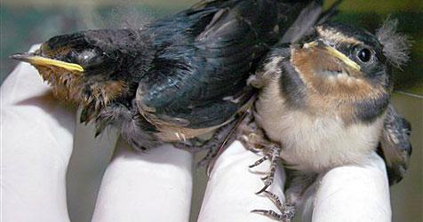 Siamesische Vogel-Zwillinge in den USA entdeckt