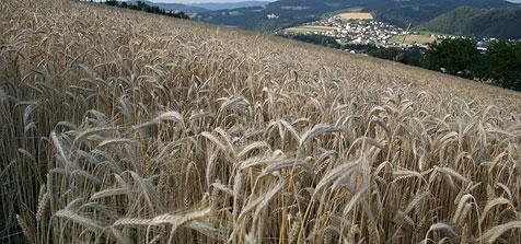 """""""Jeder Tag über 30 Grad kostet 100 Kilo Ernte je Hektar"""" (Bild: Landwirtschaftskammer/Peter Köpp)"""