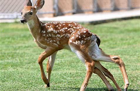 Reh mit sechs Beinen sorgt für Staunen (Bild: ap)