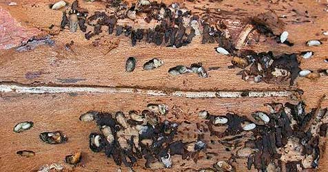 K�rnten droht eine Borkenk�ferplage (Bild: BFW-Forstschutz)