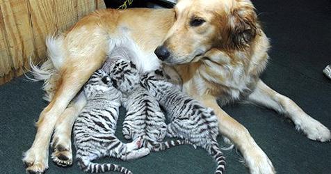 Golden-Retriever-Hündin adoptiert Tigerbabys
