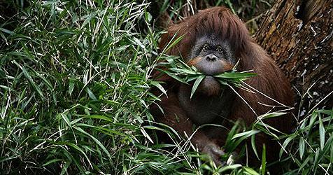 Orang-Utans verwenden Heilpflanzen