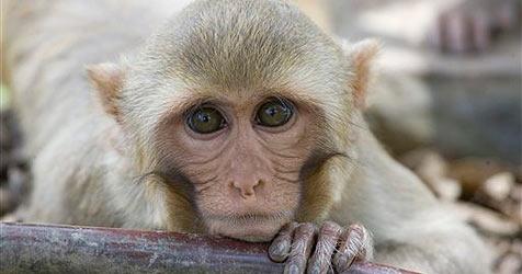 Polizei in Tokio jagt seit einem Monat einen Affen