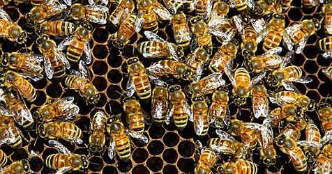 Königliche Bienen in Schottland gestohlen (Bild: ap)