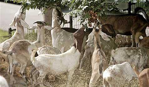 Ziegen landen mit Besitzer im Gefängnis (Bild: AP)