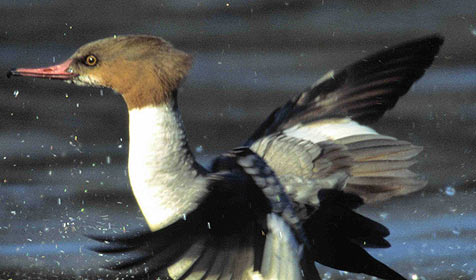 Angler auf Kriegspfad gegen seltene Vogelart (Bild: N. Pühringer)
