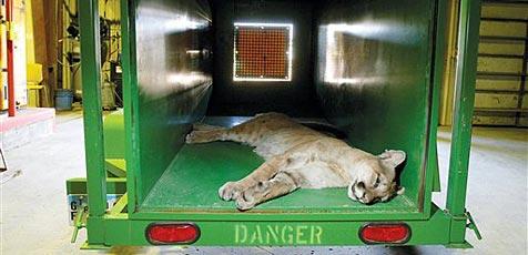 """""""Miezekätzchen"""" entpuppt sich als Puma"""