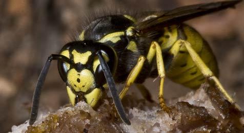 60-Jähriger nach Wespenstichen gestorben