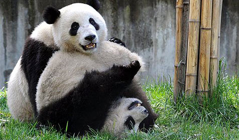 Gymnastik soll Pandas fit für die Liebe machen